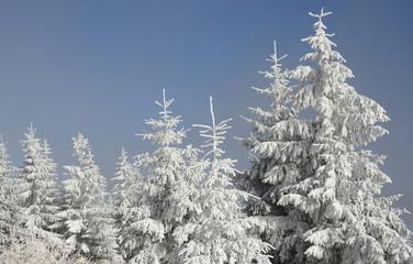 Firs  under snow