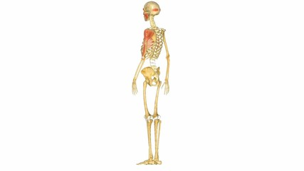 Human musculoskeletal system