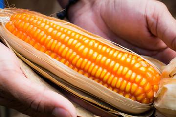 Yellow corn on hand