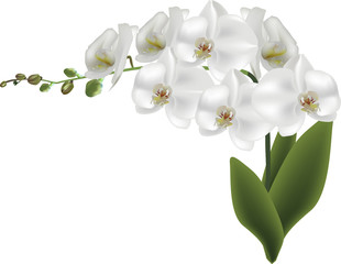 isolated branch with white large orchid flowers