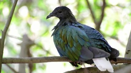 Nicobar pigeon, Nicobar dove