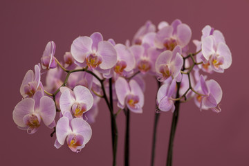 bouquet of pink orchid on a purple background