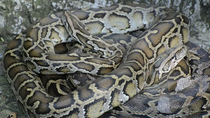 Large Python in Orchard