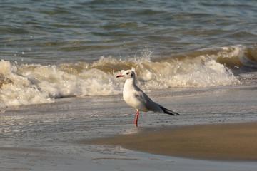 gabbiano comune (Larus ridibundus) sulla riva del mare
