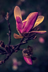 Old photo with magnolia bud in early spring