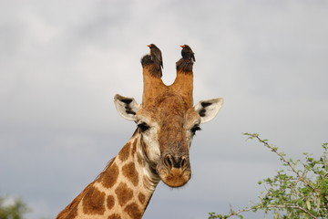 giraffa parco del kruger sudafrica