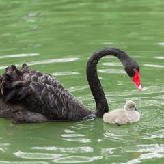 black swan mum and her baby