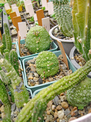 Cactus Prickly