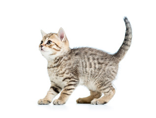 kitten cat isolated on white