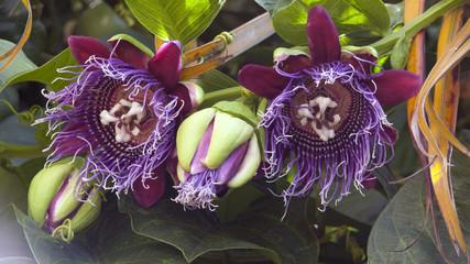 Fleur de Barbadine, fruit de la passion, La Réunion