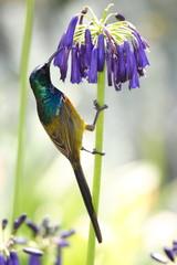 nettarina uccello sud africano