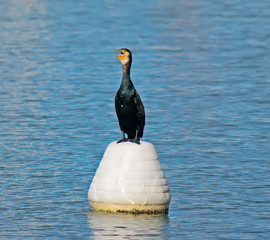 close up of a cormorant on a white buoy