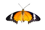 Close up of Leopard Lacewing butterfly. Isolated on white