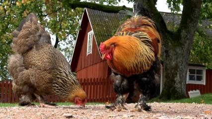 Hühner vor schwedischem Hof