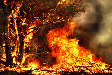 Tree on fire in forest fires