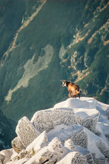 Wildlife of chamois in mountains. High Tatras