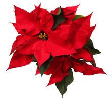 "Постер, картина, фотообои ""Red poinsettia flower isolated on white. Christmas Flowers"""