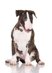 brindle english bull terrier puppy