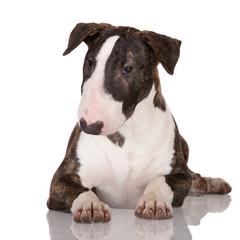 beautiful bull terrier puppy