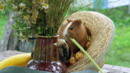 couple of Guinea pig