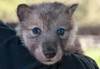 Grey Wolf Pup (Canis lupus) Head on Shoulder