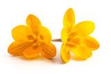 Gelbe Krokusblüten