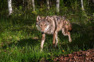 Grey Wolf (Canis lupus) Trots Around Corner