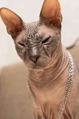 half-asleep cat Sphinx with chain on neck