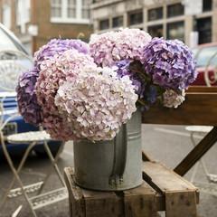 White, pink and purple, violet hydrangea