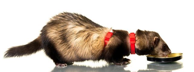 Ferret (Mustela putorius furo)