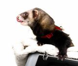 Ferret (Mustela putorius furo) poster
