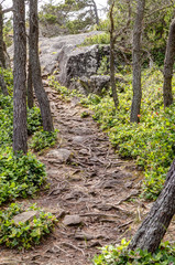 root covered forest path, East Sooke Regional Park near Victoria