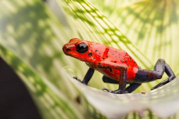 strawberry poison arrow frog