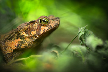 toad in the Amazon rain forest