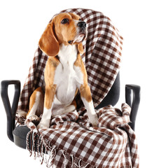 Beagle dog on chair with plaid isolated on white