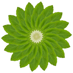 Basil leaf are arranged in a circle on a white background.