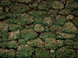 マメヅタが覆い茂った石垣