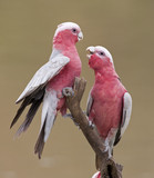 Galahs on Cooper Creek, Innamincka, South Australia.