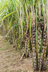 Sugar cane plants nature background.