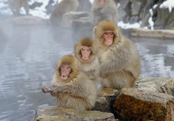 地獄谷野猿公苑の野生の猿
