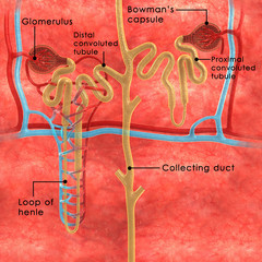 Nephrons labelled