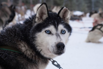 Husky with penetrating eyes