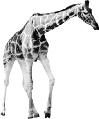giraffe from black dots isolated on white