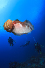 Cuttlefish and scuba divers