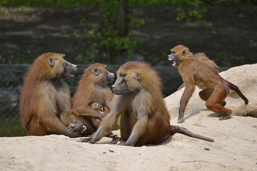 Group baboons (Papio) on the ground
