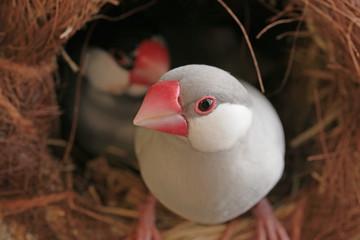 つぼ巣と文鳥のカップル