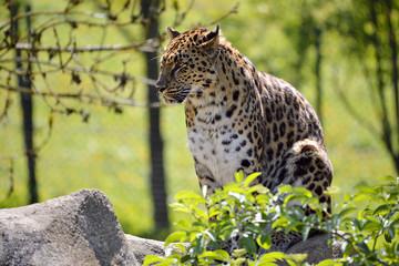 Closeup leopard in the vegetation
