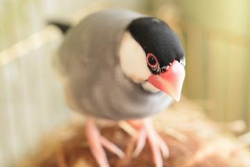 巣の上の文鳥の雄