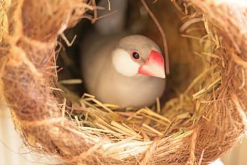 卵を抱く文鳥の雌