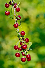 Cherries red on branch
